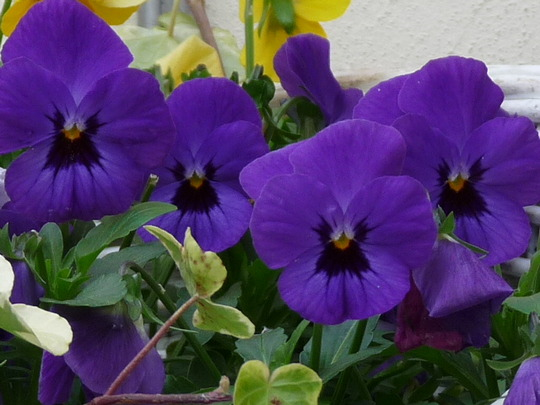 Winter pansies, ready for the long haul....:o(