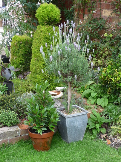 French Lavender dentata and Laurus nobilis (French lavender dentata)