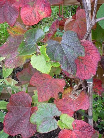 Crimson Glory Vine (Vitis coignetiae (Crimson glory vine))