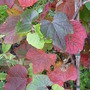Crimson Glory Vine (Vitis coignetiae (Crimson glory vine))