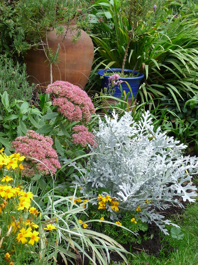 Red Sedum spectabile with silver-leaf Cineraria (silver-leaf)