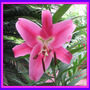 Mid-Spring Downunder:  Oriental Lilies beginning to bloom. (oriental lilium)