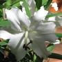 Mid-Spring Downunder:  Oriental Lilies beginning to bloom. (Lilium x auratum x speciosum)