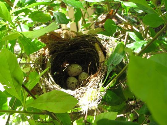Mid-Spring Downunder: Nest and Eggs of Little Shrike-Thrush - Colluricincla megarhyncha
