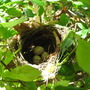Mid-Spring Downunder: Nest and Eggs of Little Shrike-Thrush - Colluricincla megarhyncha