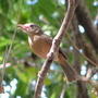 Mid-Spring Downunder: Little Shrike-Thrush - Colluricincla megarhyncha