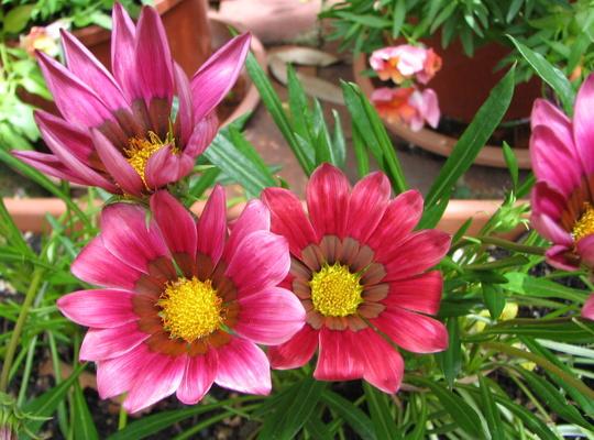 Mid-Spring Downunder: more Gazanias flowering. (Gazania)