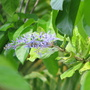 Mid-Spring Downunder: first bloom on Petrea volubilis (Sandpaper Vine) or Queen's Wreath (Petrea volubilis)