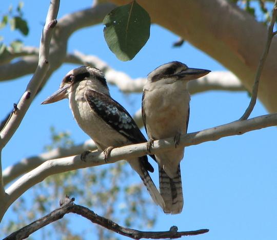 Mid-Spring Downunder: regular garden visitors - Laughing Kookaburras