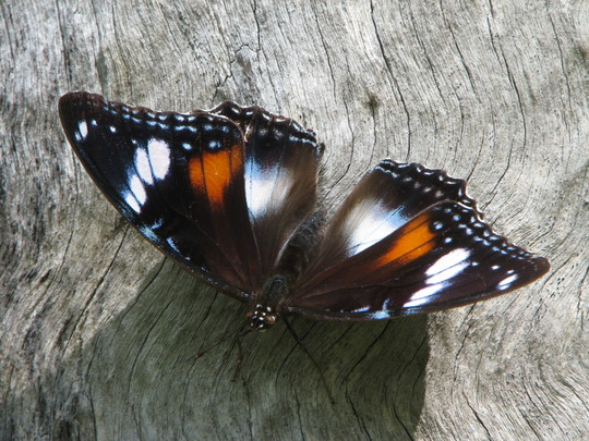 Mid-Spring Downunder: Common Eggfly Butterfly (Hypolimnas bolina) everywhere in the garden!