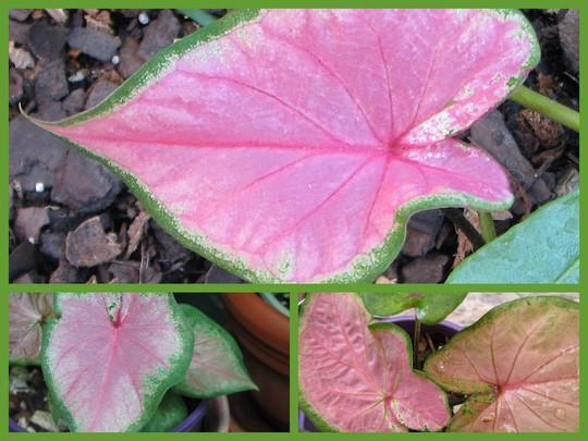 Mid-Spring Downunder:  Caladiums waking up from Winter slumber. (Caladium)