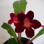 Streptocarpus Texas Hot Chilli