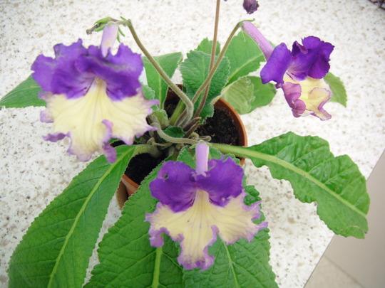 Streptocarpus Sylvia