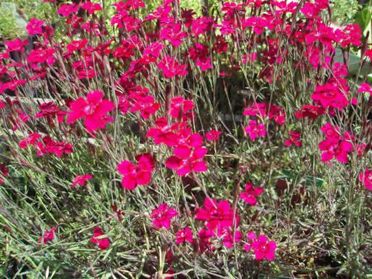 Dianthus deltoides 'Erectus'