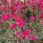 Dianthus_deltoides_erectus_