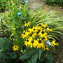 Cheery_rudbeckia_on_a_wet_day