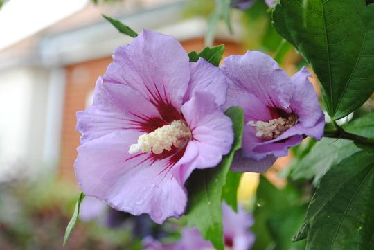 Hibiscus (Hibiscus rosa-sinensis (Chinese Hibiscus))