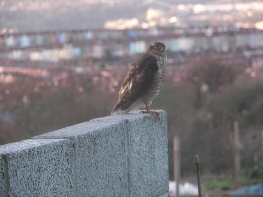 Sparrowhawk on wall