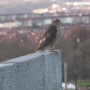 Sparrowhawk on wall