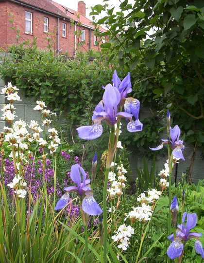 Libertia Grandiflora with Iris Sibirica