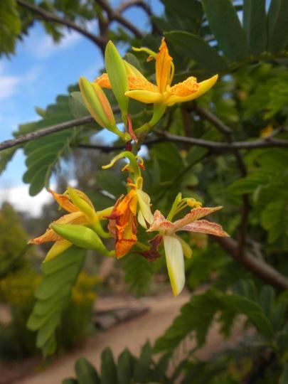 Tamarindus indica - Tamarind Flowering in Balboa Park, San Diego, CA. (Tamarindus indica - Tamarind)