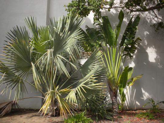 Bismarckia nobilis - Bismarck Palm and Ravenala madagascariensis - Traveller's Palm (Bismarckia nobilis - Bismarck Palm and Ravenala madagascariensis - Traveller's Palm)
