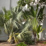 Bismarckia nobilis - Bismarck Palm and Ravenala madagascariensis - Traveller&#x27;s Palm (Bismarckia nobilis - Bismarck Palm and Ravenala madagascariensis - Traveller&#x27;s Palm)