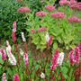 The front garden border (Polygonum affine 'Dimity')