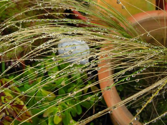 Grass after the rain (Stipa bavarica)