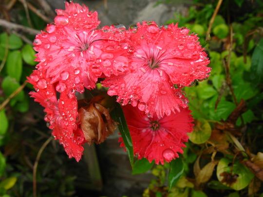 Dianthus in the Rain