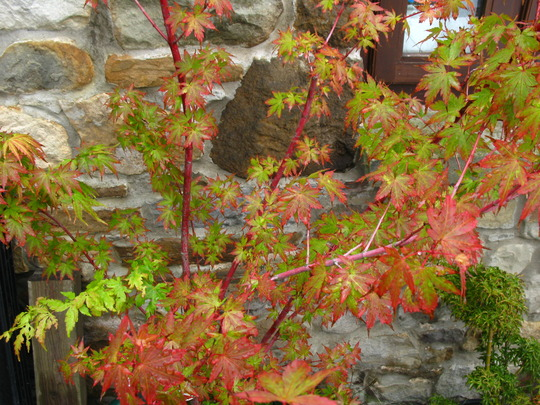 Acer leaves (acer)