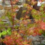 Acer leaves (acer)