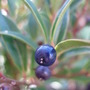 Lovely shiny berries on Christmas Box (Sarcococca hookeriana (Sweet box))
