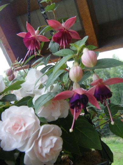 Fuchsia Lambada and Double Impatient
