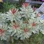 Euphorbia 'Helena's Blush'