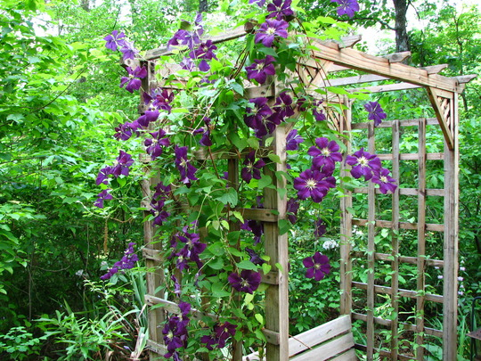 clematis viticella 39 etoile violette 39 grows on you. Black Bedroom Furniture Sets. Home Design Ideas