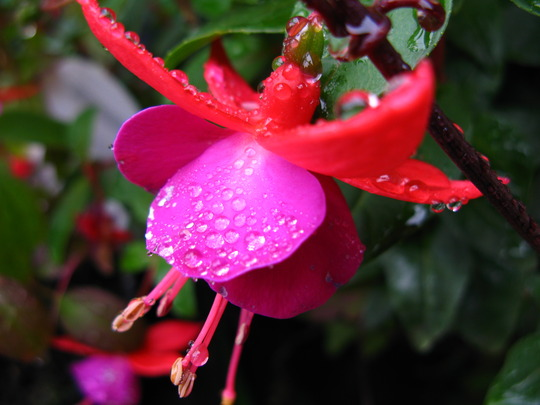 Fuchsia from a friend -1