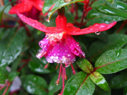 Fuchsia from a friend -3
