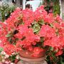 Begonia Flamboyant