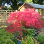 Acer Palmatum Dissectum End Sept