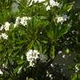 Plumeria obtusa 'Singapore'  - Singapore Plumeria in San Diego, CA. (Plumeria obtusa 'Singapore'  - Singapore Plumeria)