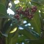 Markhamia zanzibarica - Bell Bean Tree (Markhamia zanzibarica - Bell Bean Tree)