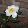 Camellia 'Narum-Gata' (Camellia Narumi-Gata)
