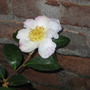 Camellia Narumi-Gata (Camellia Narumi-Gata)