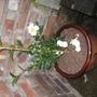 Camellia Narumi-Gata