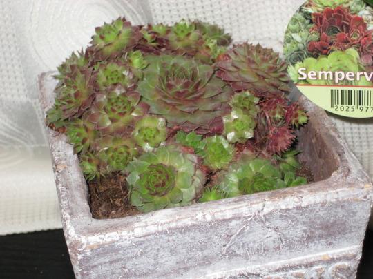 Sempervivium (Sempervivium)