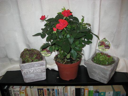 Miniature Rose (red) (Sempervivum)