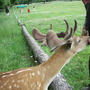 Deer at Burghley House