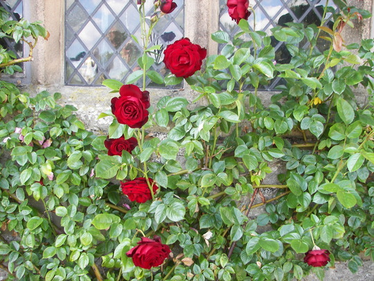 Roses on wall of Haddon Hall