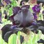 Near Black Iris at Chatsworth House